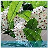 virtue zlking 100 pz orchid ball rare ball orchidea fiore pianta perenne hoya carnosa bonsai fiore pianta perenne giardino