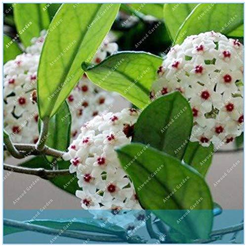Virtue ZLKING 100 STÜCKE Orchidee Ball Seltene Ball Orchidee Blume Mehrjährige Pflanze Hoya Carnosa Bonsai Blume Mehrjährige Gartenpflanze