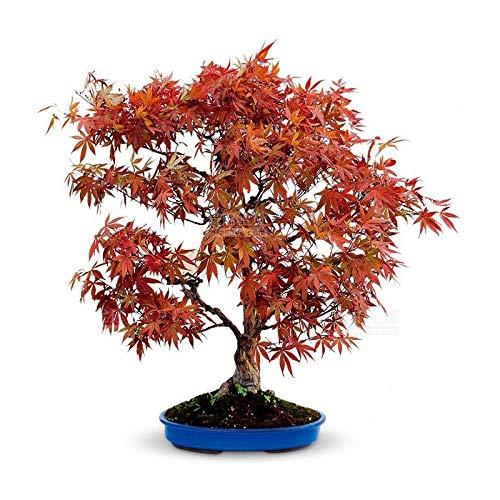 Semilla de arce rojo Arce rojo Semilla de arce dorado Semilla de flor de árbol verde 300 cápsulas