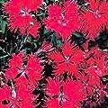 Outsidepride Dianthus - Superbus Red