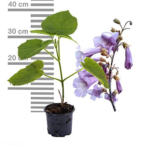 2 x Paulownia Blauglockenbaum TOMENTOSA, extrem schnellwüchsig; auch Kiri-Baum, Kaiserbaum oder Empress tree für Wertholz/Energieholz, keine Samen! (9 cm-Kleintopf)