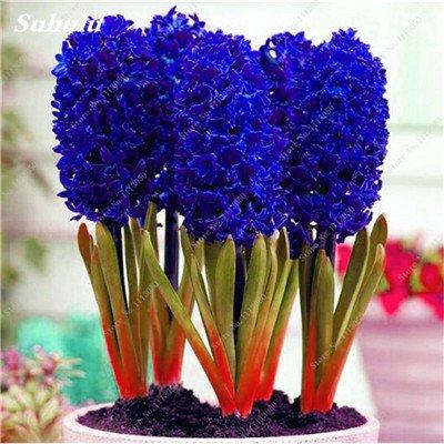Livraison gratuite Parfum Pas Cher Graines jacinthe, plantes en pot purifient l'air, PC de bureau Décor-100 Pcs Hyacinthus Orientalis Seed 6