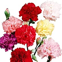 Carnation Chabaud Mix Seeds - 275 Seeds - 8 Week Blooming Period - All Zones