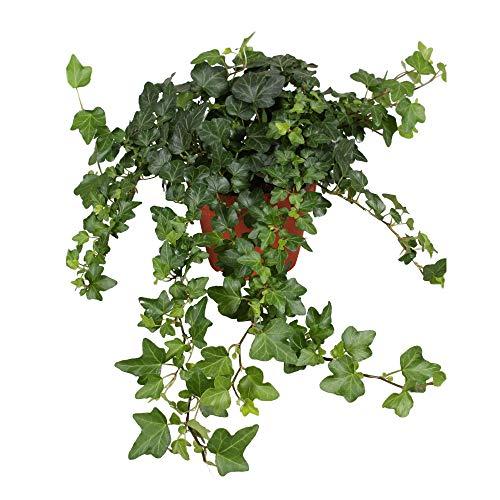 Hedera helix Wonder | Gemeiner Efeu | Kletterpflanze | Höhe 25-30cm | Topf-Ø 13cm