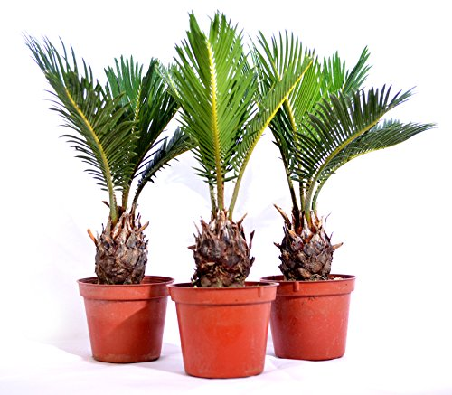 Japanese Sago Palm, Cycas Revoluta, 15.9 Ounce (Pack of 3)