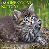Just Maine Coon Kittens 2021 Wall Calendar