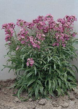 Gregpol latest - Cheiranthus linifolium Little Kiss sale 500 Lilac ct