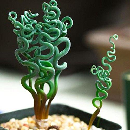 AIMADO Samen-Rarität 50 Pcs Albuca spiralis Saatgut Kunstvoll spiralenförmigen Blättern Grünpflanze exotische Samen Zimmerpflanze, Für In- und Outdoor geeignet