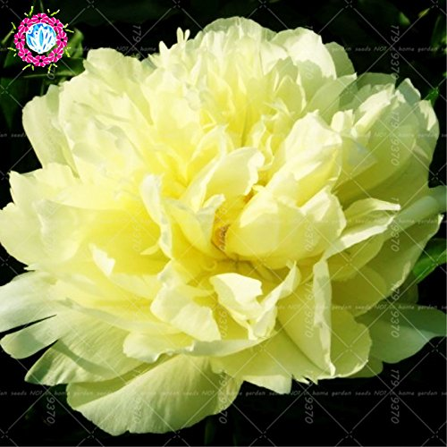 Chinese National Flower 5 graines Pcs Pivoine Plante en pot Paeonia suffruticosa Arbre Terrasse Cour Illuminez votre jardin personnel 3