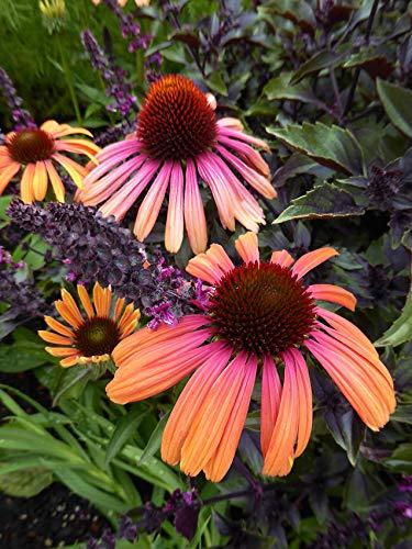 Derlam Samenhaus-50 Pcs Sonnenhut Bravado Blumensamen rosa mehrjährig winterhart exotische Samen Blumen Saatgut für Garten Balkon Topf