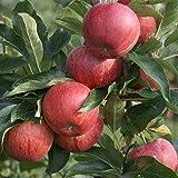Müllers Grüner Garten Shop Gala Herbstapfel sehr süß und aromatisch