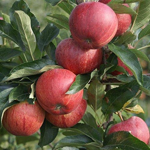 Müllers Grüner Garten Shop Gala Herbstapfel sehr süß und aromatisch Apfelbaum Buschbaum 150-170 cm wurzelnackt M7