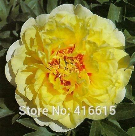 Krautige Pfingstrose Paeonia Samen Bartzella Samen Gelb Farbe Pfingstrose Blumensamen Bonsai Staudengarten Pflanzensamen