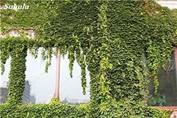 VISTARIC 1: Mix Boston Seeds 100% vrai Parthenocissus tricuspidata semences Plantes d'extérieur QUASIMENT soins décoratifs Escalade usine 100 Pcs 1