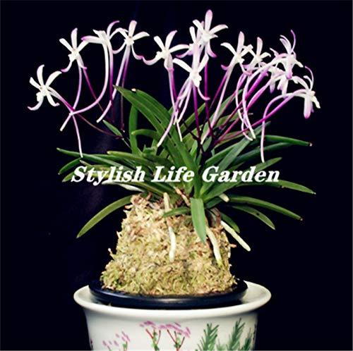 New100pcs Rare Neofinetia Falcata, orchidee Bonsai, zeldzame orchidee plant, bonsai bloem Bonsai, natuurlijke groei, planten voor huis tuin: mix