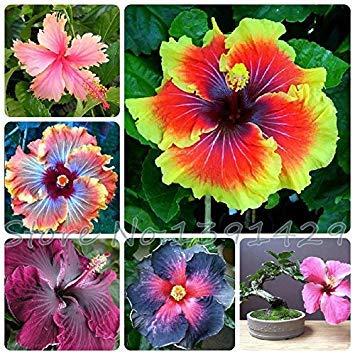 Lot de 200 graines d'hibiscus pour plantes en pot