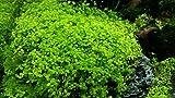 AquaPlants Wasserpfeffer/Micranthemum 'Monte Carlo'