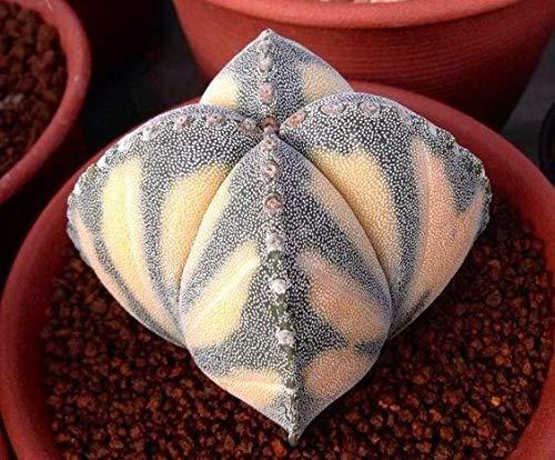 Green Seeds Co. Semillas De Flores 200 Lithops Bonsai Pseudotruncatella Sukkulenten Raw Stone Kaktus Pflanzen Stängel Tetragonia Eingemachte Blumen Fleisch: 7