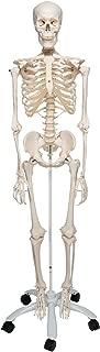 3B Scientific A10 Stan the Standard Skeleton w/ Pelvic mounted roller stand - 3B Smart Anatomy