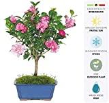 Brussel's Live Camellia Hot Flash Outdoor Bonsai Tree - 10' to 14' Tall with Decorative Container