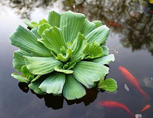 Wasserpflanzen Wolff - Pistia stratiotes - Wassersalat - Muschelblume