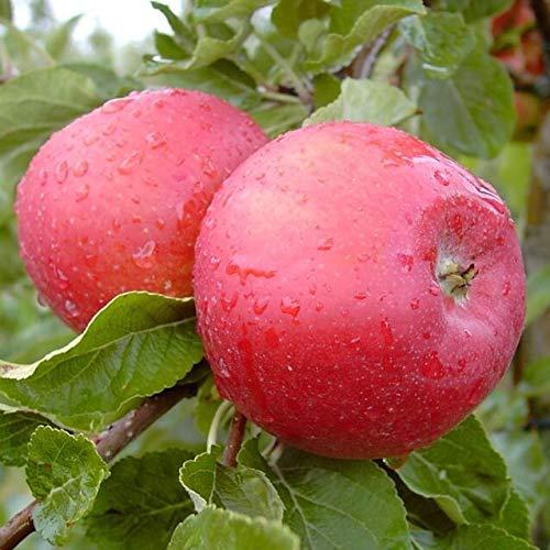 Müllers Grüner Garten Shop Santana (S) für Allergiker geeignet! Herbstapfel Halbstamm 170-200 cm 10 L Topf M7