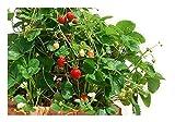 Kletter-Erdbeere Hummi 3 Stück'Lecker und gesund'