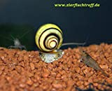 generisch 3 Stück Asolene spixi - Zebra Apfelschnecke von...