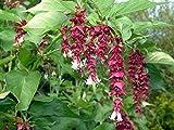 Alick 10 semillas de flores de madreselva del Himalaya de linterna de oro