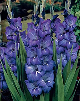 Van Zyverden Gladiolus - Large Flowering Grande Passion - Set of 12 Bulbs Blue