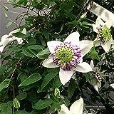 Flores Bonsai Hogar Jardín Magnífico Impresionante Planta Perenne De Bulbos Fuertes-12Rizoma de clemátide