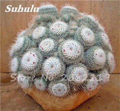 100 Pcs mixte vrai Cactus Seeds, Mini Cactus, Figuier, Graines Bonsai fleurs, vivaces herbes Plante en pot pour jardin 10
