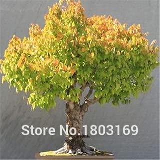 Promotion!100pcs/bag Rare Chinese Elm Seeds 20 variety Bonsai Tree Seeds Garden Novel Plants Anti-Radiation