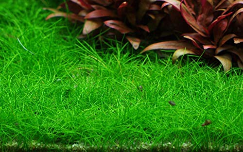 Tropica Aquarium Pflanze Eleocharis acicularis 'Mini Nr.132B TC in Vitro 1-2 Grow Wasserpflanzen Aquariumpflanzen