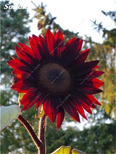 Nouveautés 40 Pcs Graines de tournesol bio mixte Helianthus annuus Graines d'ornement semences de fleurs de tournesol russe plante pour jardin 18
