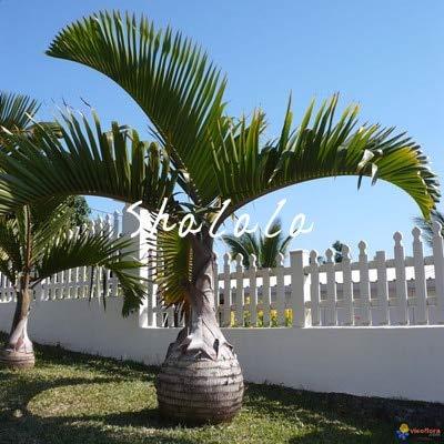 SANHOC 10 PC Weinflasche Palmen-Bonsais Seltene Hyophorbe lagenicaulis Bonsai-Baum Tropische Pflanzen für Haus Garten Bepflanzung Dekoration Pflanze: 1