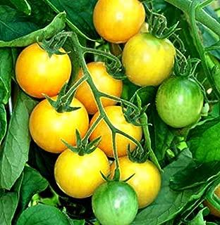 gold nugget tomato