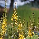 Blumixx Stauden Ligularia przewalskii 'The Rocket' - Kreuzkraut, Przewalski-Kerzen-Goldkolben, im 1,0 Liter Topf, gelb blühend