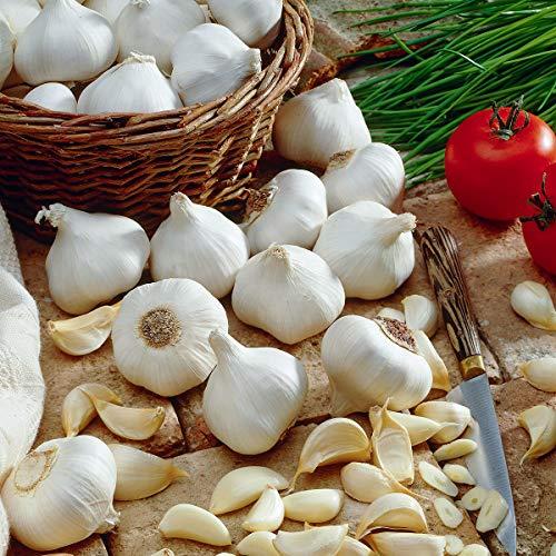Soteer Garten - Bio Knoblauch Samen Pflanzknoblauch Spezialität knoblauch Gemüsesaatgut Gemüse Samen mehrjährig winterhart für Garten Balkon/Terrasse