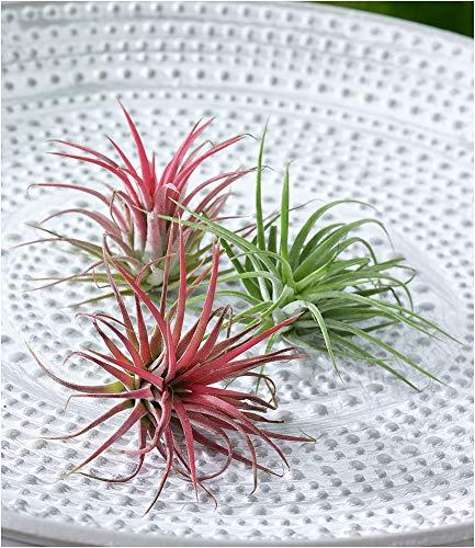 BALDUR-Garten Tillandsien Mix, 3 Pflanzen Deko Pflanzen Airplants Luftpflanzen