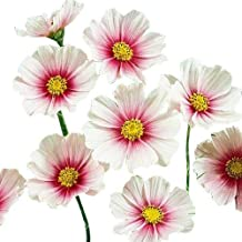 1000 Day Dream Cosmos Seeds - Long Blooming Period in All Zones