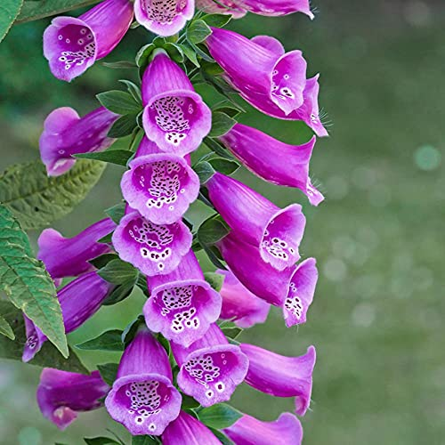 Lankfun Semillas de macetas de Flores,Muchos años de Semillas de Flores, Pelo, semilla Amarilla, semilla-Grunge_250g,perennes Semillas de Flores