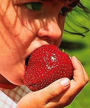 Monatserdbeere Rügen ca 100 Samen  Dürr große Früchte reichtragend