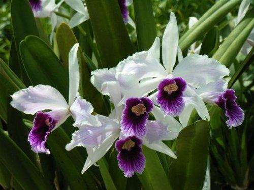 1 blühfähige Orchidee der Sorte: Laelia purpurata var., 14cm Topf