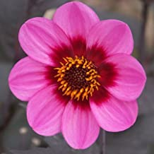 1 Bulb of Dahlia Happy Single Wink