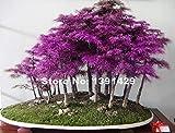 200pcs Rare Purple Dawn Redwood Bonsai Tree - Metasequoia glyptostroboides, DIY home garden, Very easy to grow ornamental-plant SEEDS ONLY