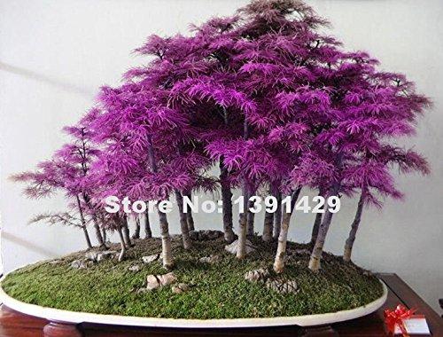 200pcs Rare Purple Dawn Redwood Bonsai Tree Metasequoia Glyptostroboides Diy Home Garden Very Easy To Grow Ornamental Plant Seeds Only Buy Online In Belize At Belize Desertcart Com Productid 69884257