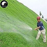 Germinazione I Semi: 500pcs: Acquistate Evergreen Zoysia Japonica Semi di Piante Slope Protezione Prato Erba
