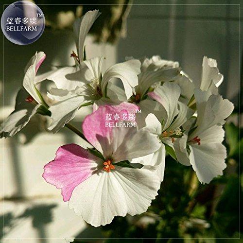 Bellfarm Geranium Bonsai Purement White & Light Pink Flower plante * Graines (pas de sol), 10pcs/paquet, grandes fleurs jardin maison