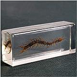 erddcbb Pisapapeles de Insectos Reales, Muestra de ciempiés, para taxidermia Animal, Ciencia, Muestra de Aula, Juguete Educativo, 110 x 45 x 28 mm